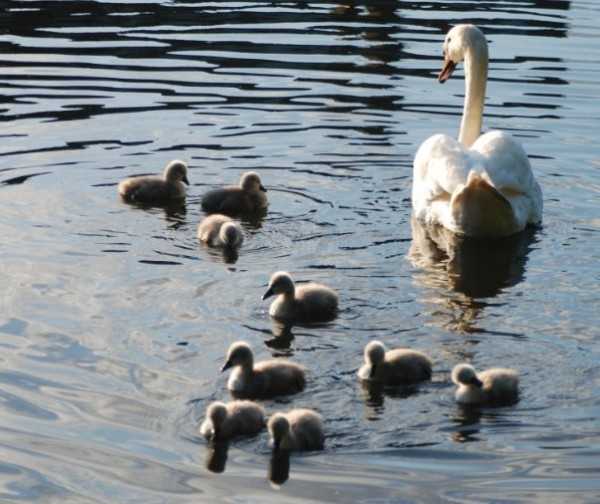 Swan with nine new cygnets