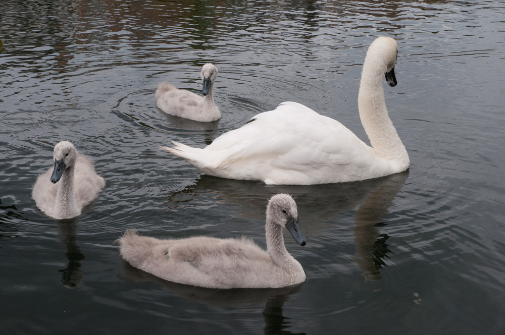 swans on craiglockhart pond