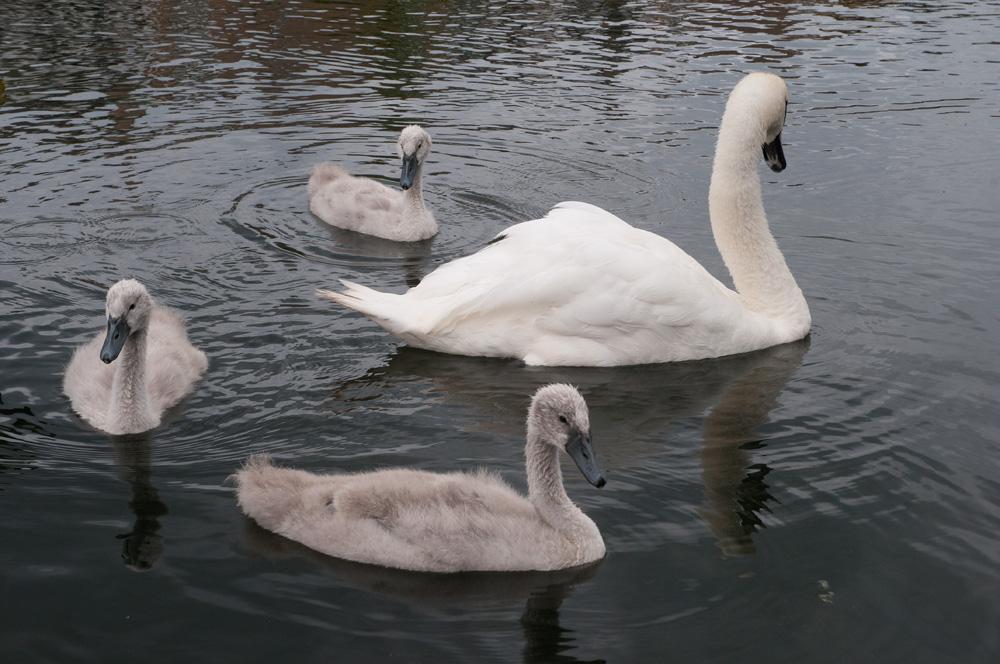 swans on craiglockhart pond