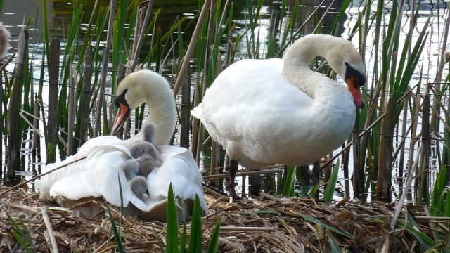 Swans and Cygnets on Craiglockhart Pond