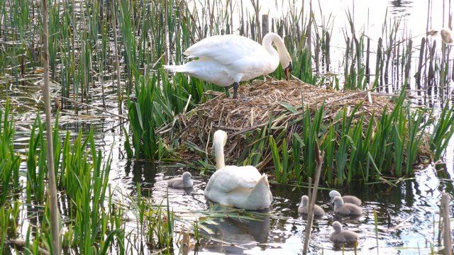 Swand on Craiglockhart pond