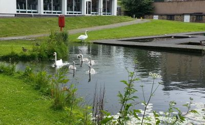 Swan family 1 July 2016